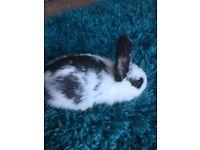 Dutch cross rabbits x3