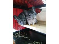 2 Beautiful Female Chinchillas