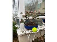 Bonsai dwarf Rhododendron