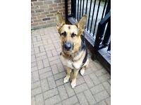Urgent home needed for german shepherd dog
