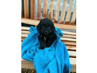 ‼️PRICE DROP‼️COCKAPOO PUPPYS FOR SALE‼️LAST ONE TRI GIRL‼️