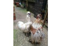 2 silkies free to good home