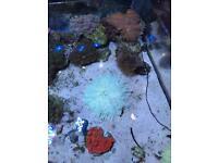 Malu Anemone Marine Coral