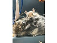 Degus for sale