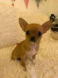 Gorgeous Kc reg Chihuahua baby girl