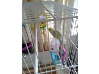 Male young budgie