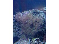 Soft corals for sale