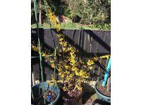 One gorgeous, large, tall forsithia plant (perenial)