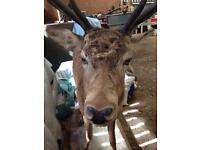 Stuffed Red Deer Stag