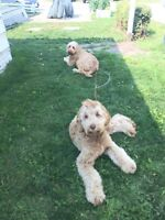 lost dog female doodle poodle airdrie 31aug2015 old town