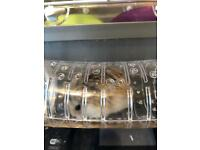 Russian Dwarf Hamster and accessories