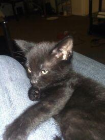 2 pure black kittens males