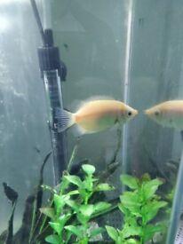 Cichlid aquarium fish - big size