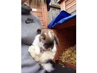 Chocolate mini lop rabbit
