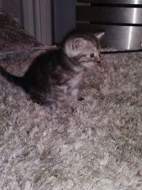 Grey boy tabby kitten