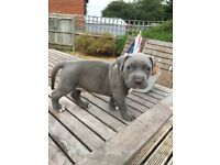 American xl bullys puppies, biggest bully in the uks sons pups