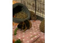 2 guinea pigs - teddy sows must go together