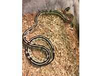 King snakes cb16 STUNNERS poss delivery
