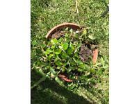Free plant / shrub seedlings