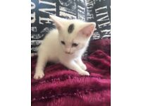 Beautyfull white female kitten 8 weeks old