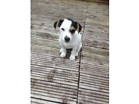 Jack Russell bitch 10 weeks old £150