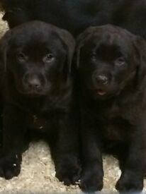 kc reg black labrador pups ready to go