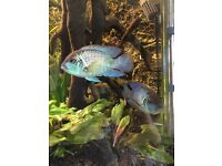 Tropical fish, electric blue acara, large, stunning