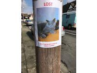 Missing Grey Cat in Eltham
