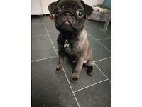 KC Registered Pug