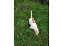 Gorgeous beagle/bulldog for sale