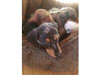 Kc reg Pra Clear Miniature Dachshund Puppies