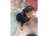 Rottweiler Puppie(s) female 4months - Available Now liverpool,UK excellent calm temperament