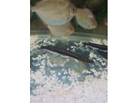 2x lema cat fish for sale around 2 years old