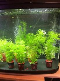 Aquarium / Fish tank plants
