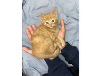 Cute ginger domestic kitten for sale