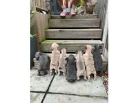 2 Female KC French Bulldog Puppies for Sale