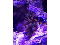 Marine anemone with hosting clownfish pair