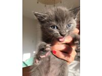 Russian blue kittens with blue eyes for sale!