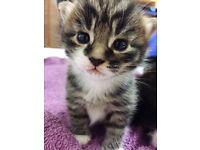 2 Medium Long Hair Kittens for Sale