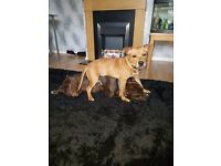 Staffy cross pup