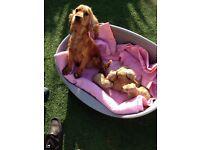 Beautifull Cockerpoo puppies mum and dad both kc registered 5 year generation class both f1