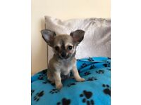 KC registered Chihuahua puppie for sale