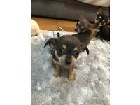 Puppies Chihuahua🐶🐶