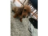 Miniature dachshund 2 left