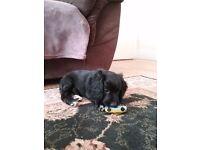 Male Cockapoo puppy for sale