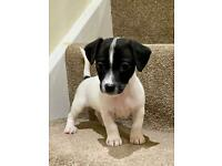 Jack Russell puppies 1st vaccination, microchip & puppy pack