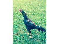 Brazilian Shamo rooster
