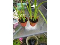 Iris pond plants