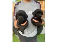 Minature poodle x border terrier pups