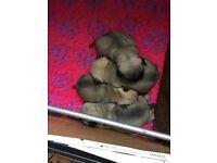 Pug Puppies ready start of June KC reg